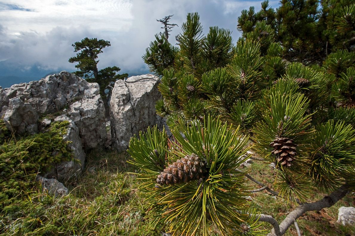 The Pollino park is also home to these Bosnian pines. Conifers are among the longest lived …