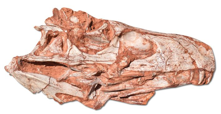 The fossil skull of Gnathovorax was unearthed in the southern Brazilian town of São João do ...