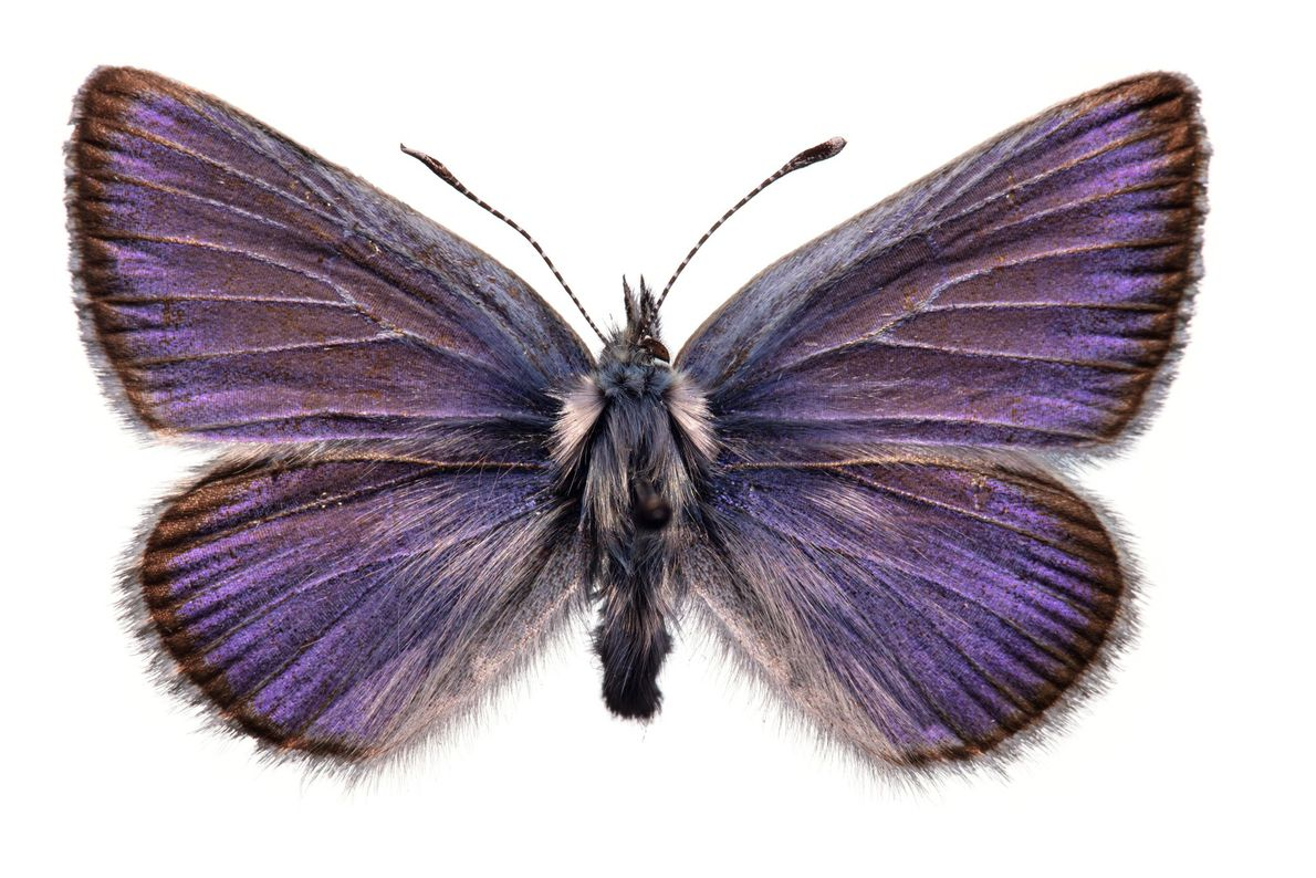 The extinction of the one-inch-wide Xerces blue butterfly, last seen in the dunes around San Francisco ...