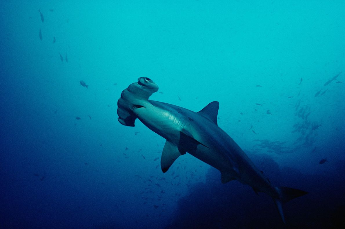 This scalloped hammerhead shark ('Sphyrna lewini') was photographed off Cocos Island, Costa Rica.