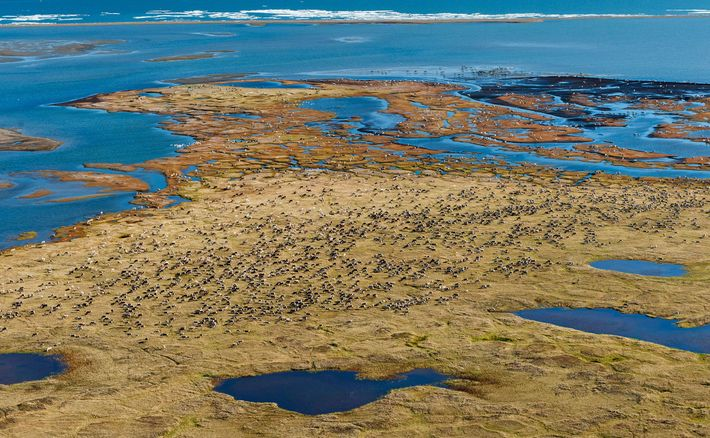 In spring, caribou migrate to the Arctic refuge's coastal plain. There they spend weeks grazing on ...