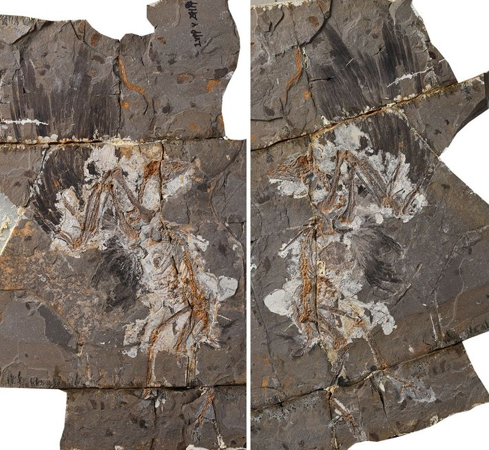 The fossil of the Cretaceous bird 'Jinguofortis perplexus'.