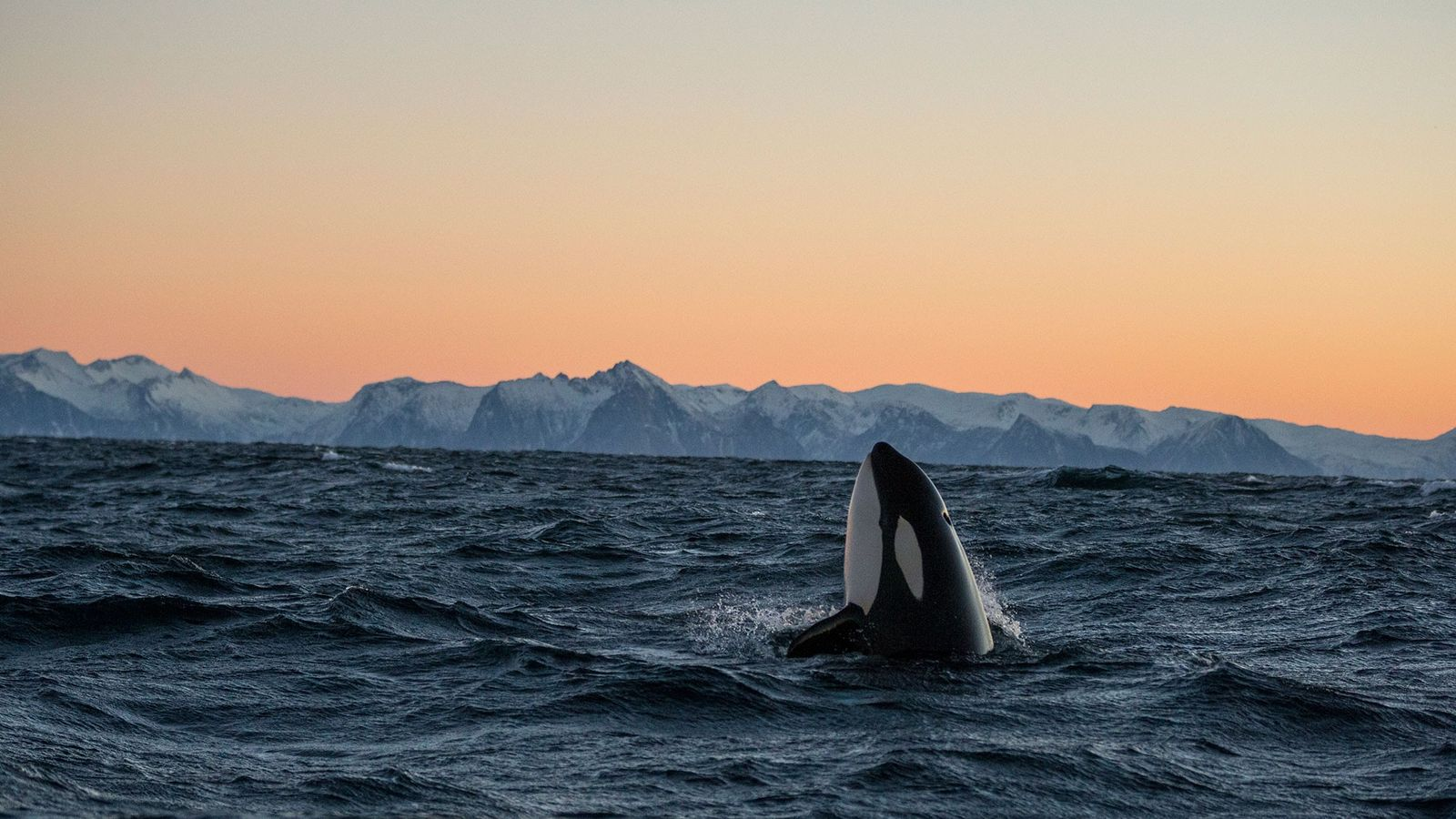 An orca lifts its head from the surface of the water in the Andfjorden in Norway.