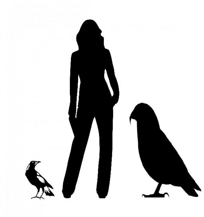 Silhouettes of a magpie, an adult human, and the giant parrot Heracles inexpectatus, for scale.
