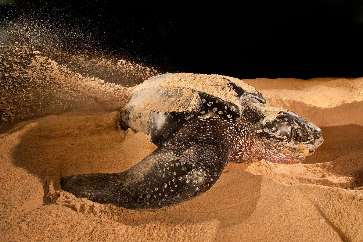 A leatherback sea turtle nesting on a beach, Dermochelys coriacea, in Adah Foah, Ghana.
