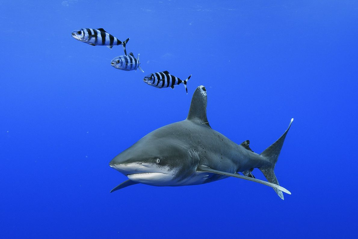 Large pelagic fish, oceanic whitetip sharks swim in the waters off Cat Island in the Bahamas.