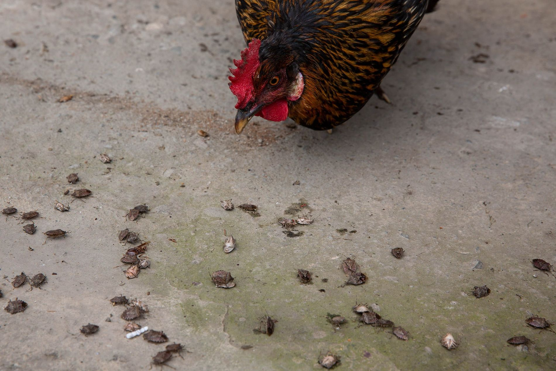 Stink bugs, inactive due to their hibernation-like state during cold weather, are eaten by a chicken ...