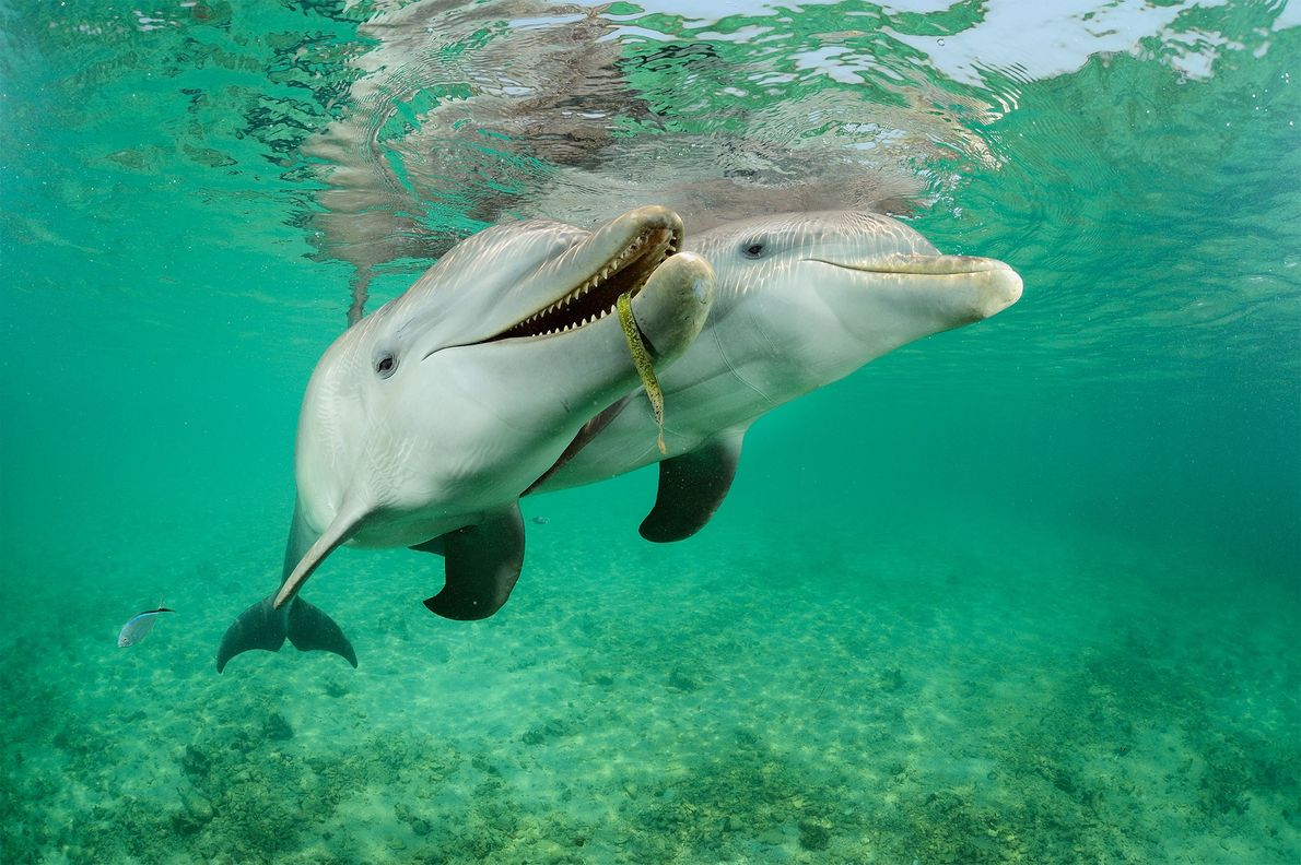 These bottlenose dolphins (Tursiops truncatus) in Honduras, are semi-captive, moving between a large enclosure and the ...