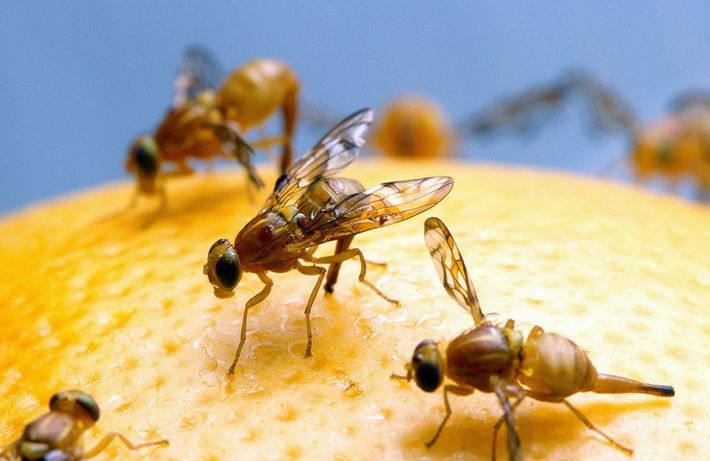Male fruit flies that don't have sex turn to alcohol to reward themselves, research shows.