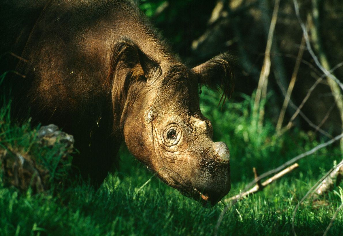 Sumatran Rhino - Rapunzel, a Sumatran rhino, was rescued and lived at the Bronx Zoo until her death in 2005. Largely due to poaching, Sumatran rhinos are now on the brink of extinction, with fewer than 200 remaining in the wild - Photograph by Michael Nichols, National Geographic Creative