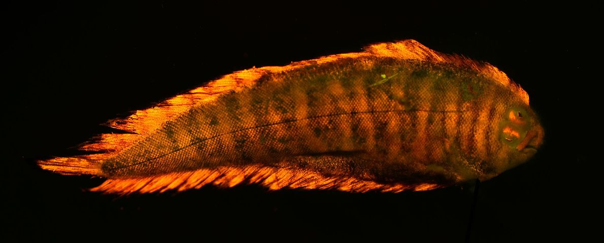 This flatfish flashes a fiery orange-red on its back (pictured), but shows off a green fluorescent ...