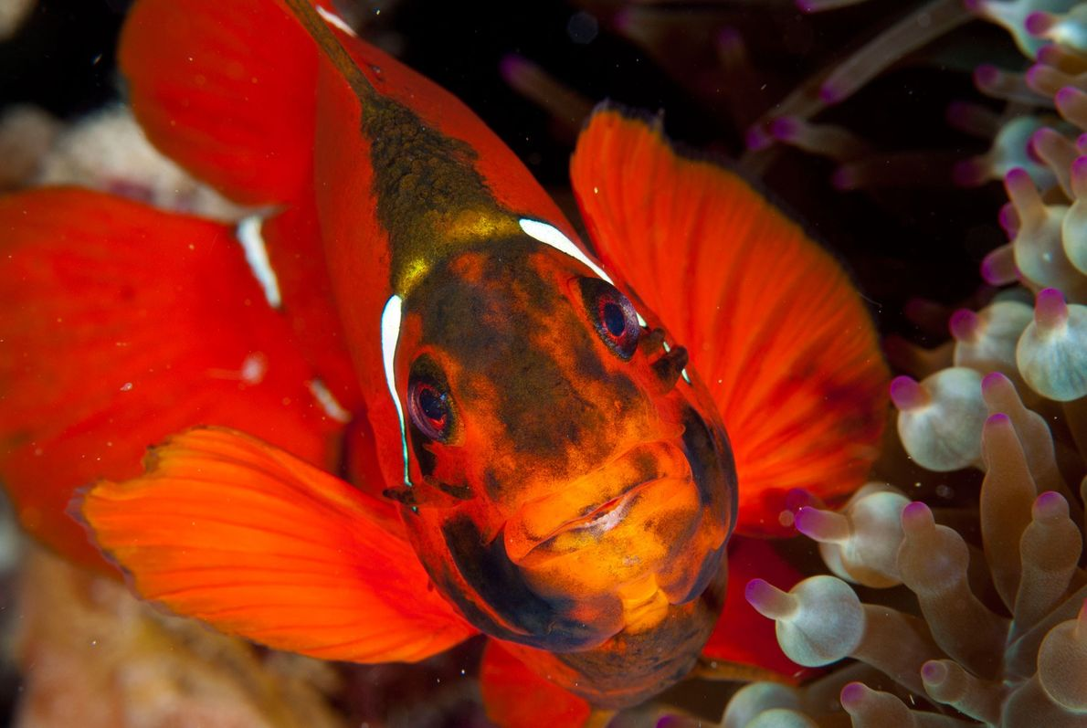 An anemonefish peers from its home in the Great Barrier Reef. As fossil fuel emissions get ...