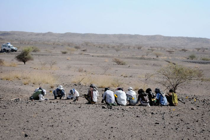 Team members search the area in Ethiopia's Afar desert where fossils belonging to a new australopithecine ...