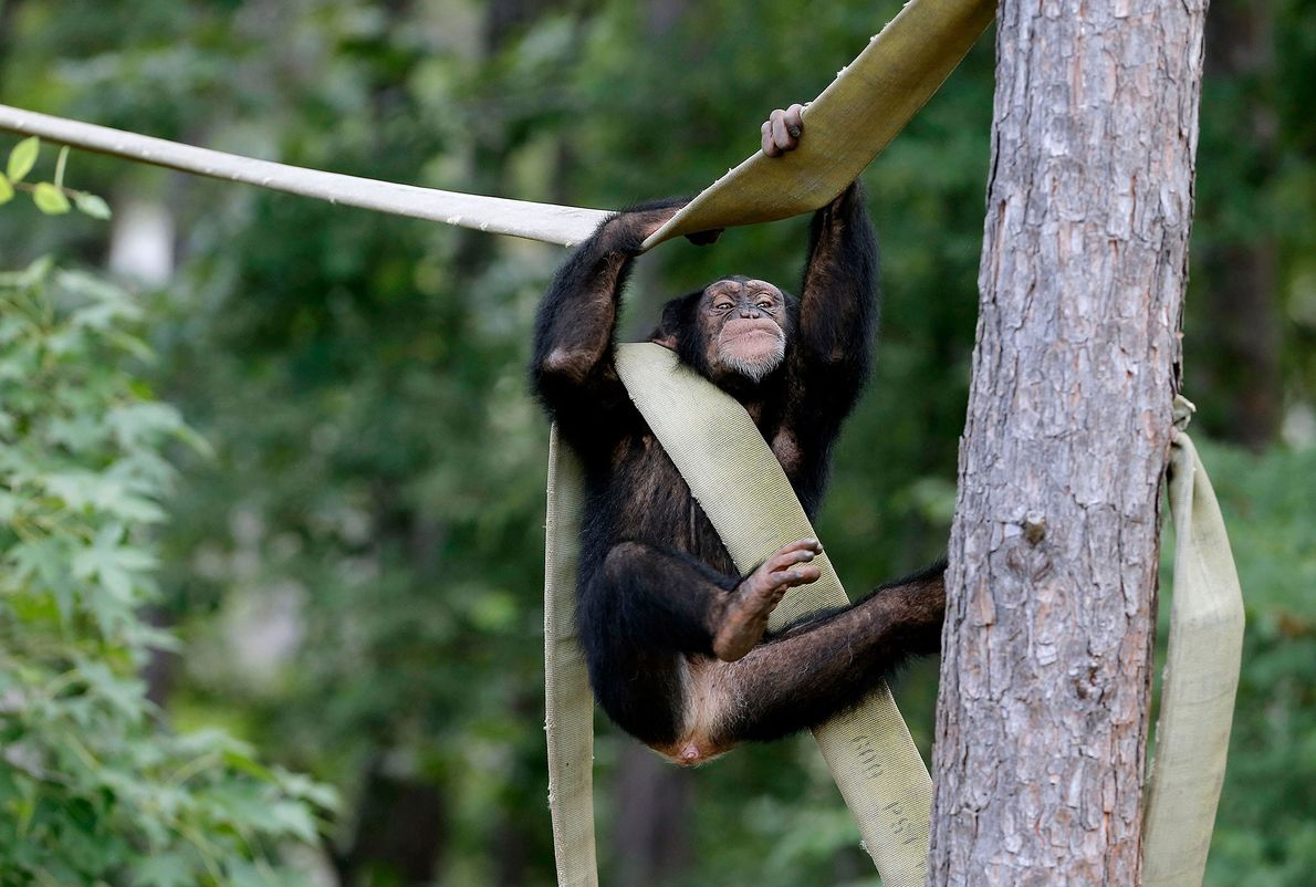 This chimpanzee, Jimmy, retired to Chimp Haven in 2013. The NIH plans to send the last ...