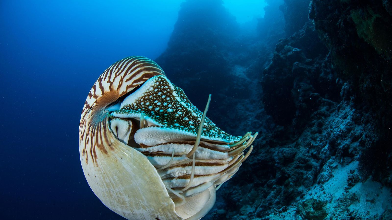 The Palau nautilus (Nautilus belauensis) occurs nowhere else on Earth, but this individual was seen by ...