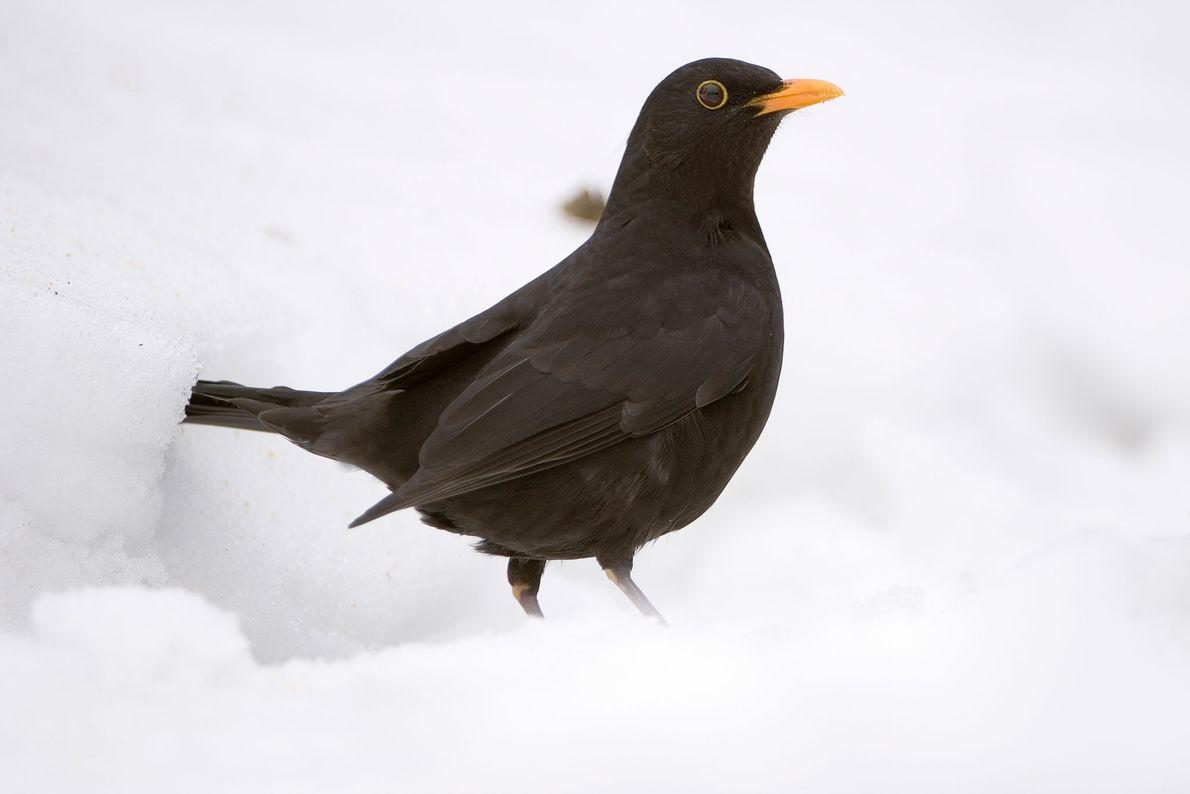 A Eurasian blackbird in the snow in Neuhas im Solling, Germany. European blackbirds are actually more ...