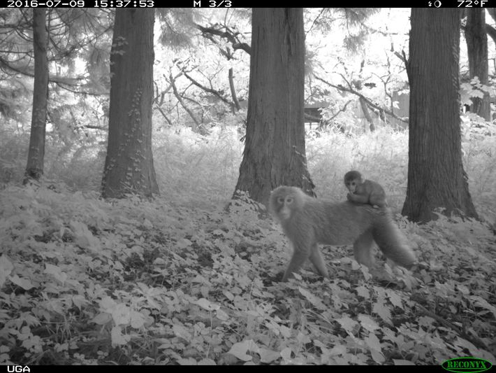 Japanese macaques(Macaca fuscata) were most abundant in the areas around Fukushima off-limits to people; radiation levels ...