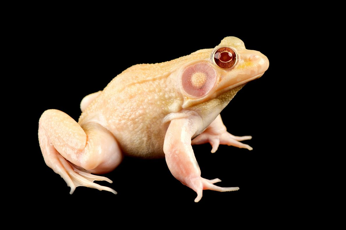 Mammals aren't the only animals that can be albinos. This albino green frog resides at the ...