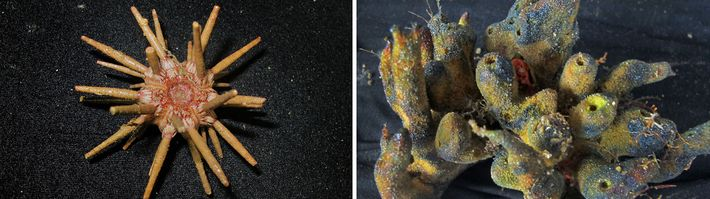 The reef off the Amazon River's mouth is home to a stunning array of creatures, including ...