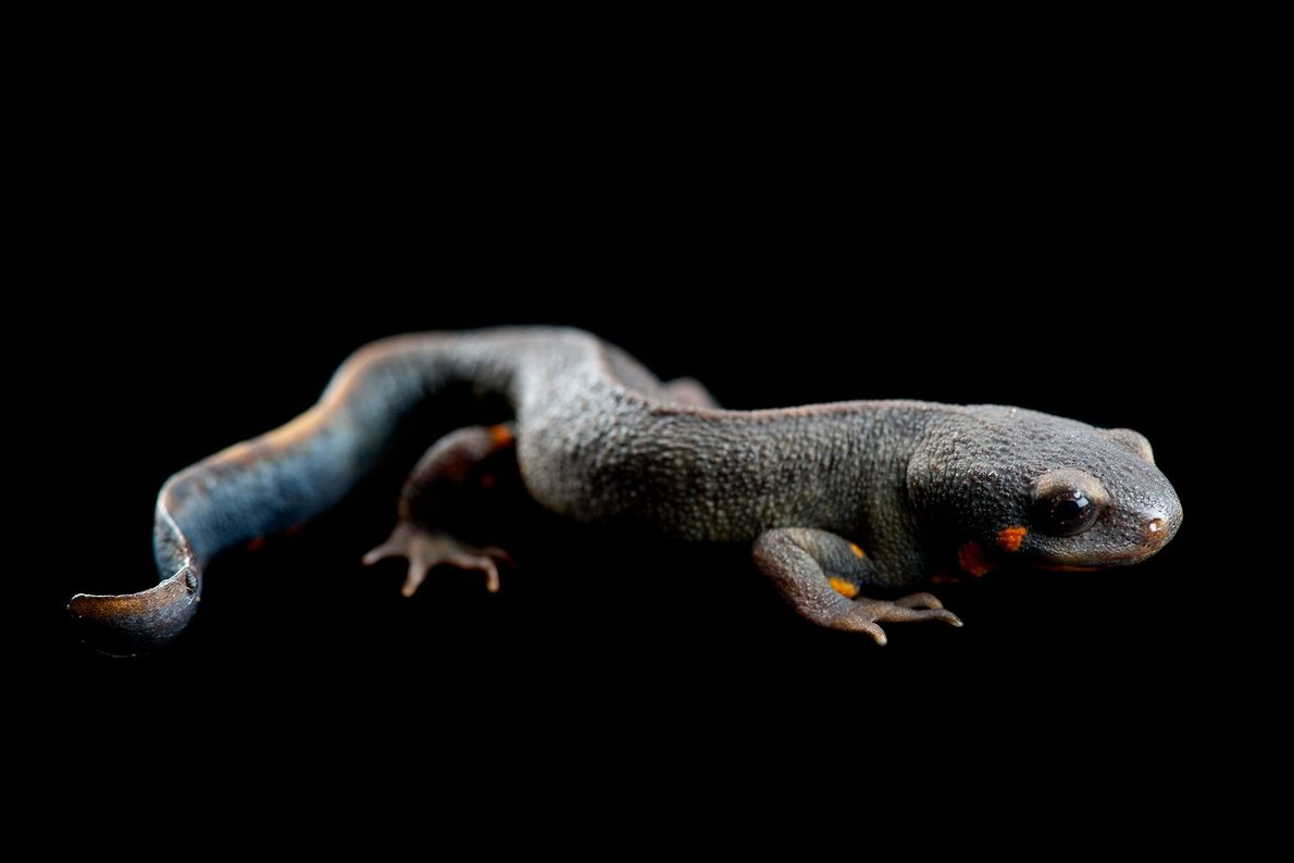 A blue-tailed fire-bellied newt, ('Cynops cyanurus').