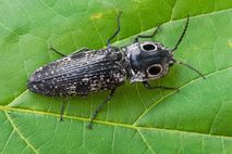 An eastern eyed click beetle rests on a leaf in the eastern United States.