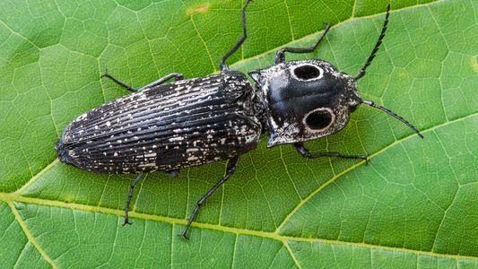 This Beetle Can Withstand 40 Times More G-Force Than a Fighter Pilot