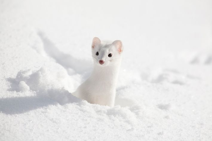 A stoat in its winter coat. By winter, white fur replaces the stoat's brown coat, helping ...