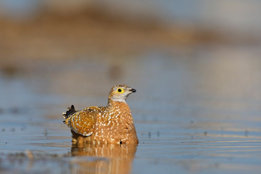 A male sand grouse will fly more than 100 miles to find water for his family. He soaks it up in his feathers, and when he returns to the nest, his offspring will drink from them.