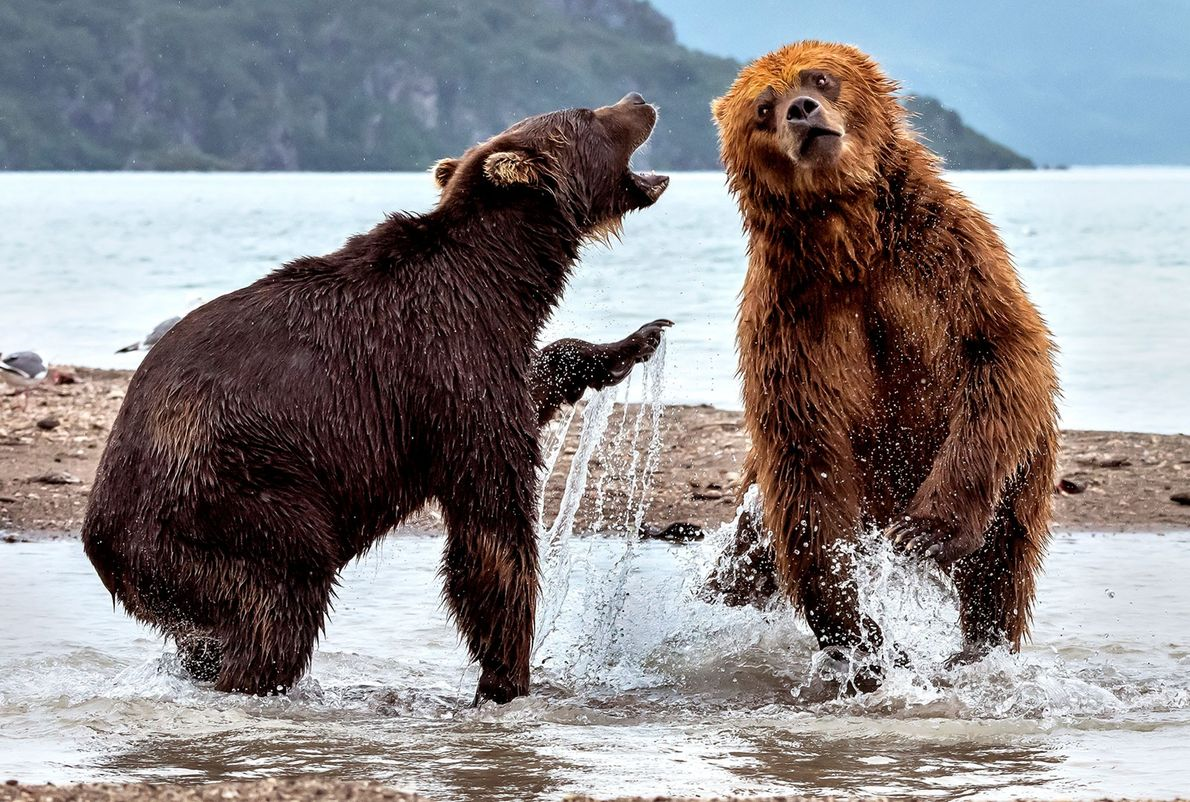 Two brown bears spar in Kamchatka, Russia.