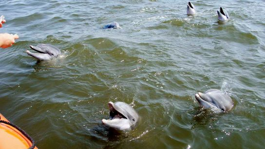 Dolphins live in pods of up to 200 individuals and have close relationships.