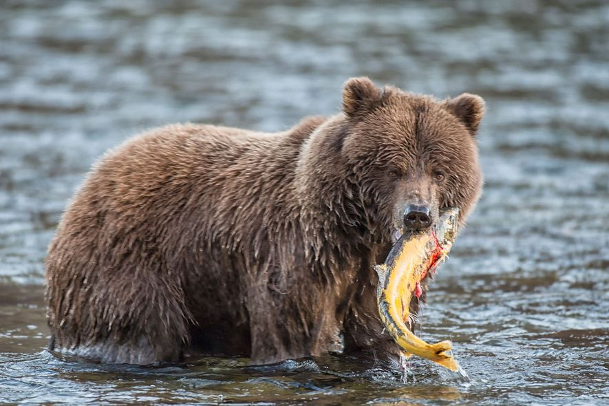 A grizzly bear grips a freshly caught salmon in Canada's Yukon Territory.