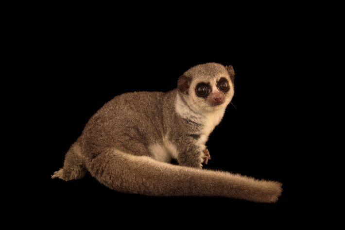 A western fat-tailed dwarf lemur shows off its tail at the Duke Lemur Center.