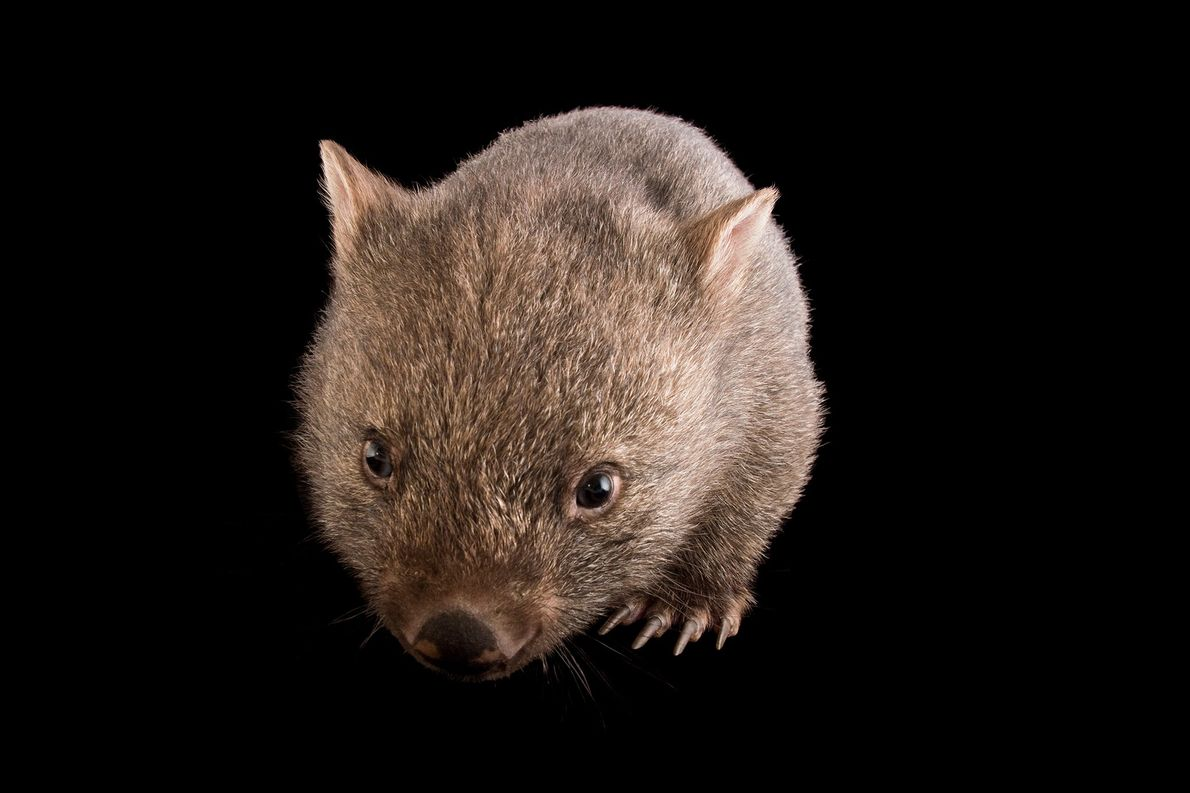 Wombats live in extensive, multi-entrance underground burrows. These homes can provide refuge from smoke, flames, and ...