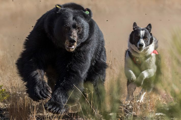 Dazzle pursues a black bear in Lake Tahoe. Bears learn to fear dogs and people during ...