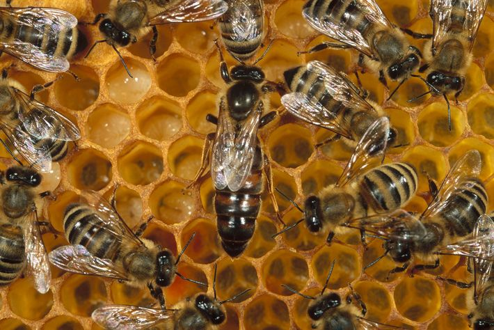 This honey bee queen (Apis mellifera) lays about 2,000 eggs daily. While daughters like the retinue ...