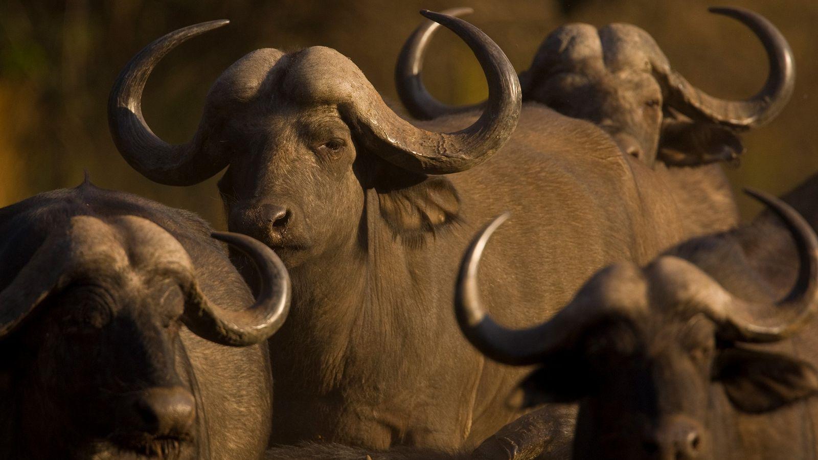 A herd of African buffalo gather in Botswana's Okavango Delta. The large herbivores often cluster together ...