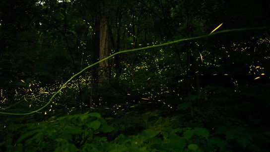 Fireflies flash through a Tennessee summer night, searching for mates. Seeking out glow-in-the-dark adventures is a ...