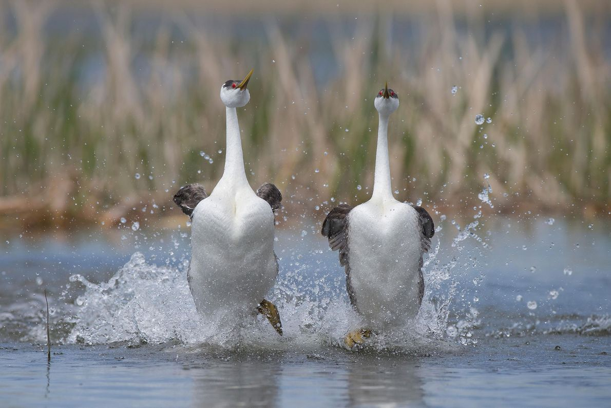 Western grebes 'walk' on water during their courtship dance.