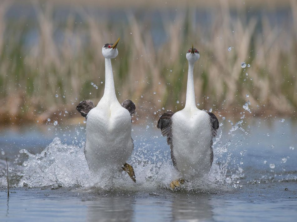 'Moonwalking' Birds and Other Crazy Courtship Rituals