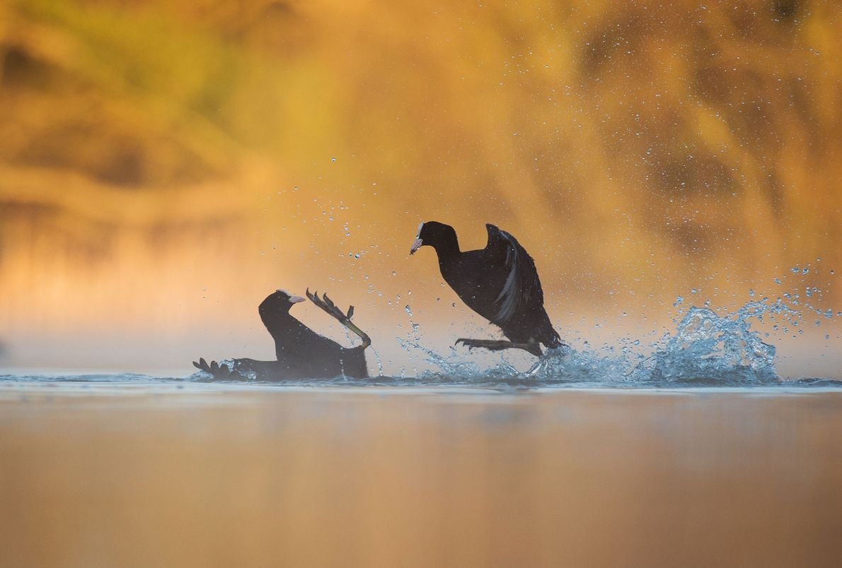 Coots (Fulica atra) fight over territory in Derbyshire, U.K., in this gold award winner for bird …