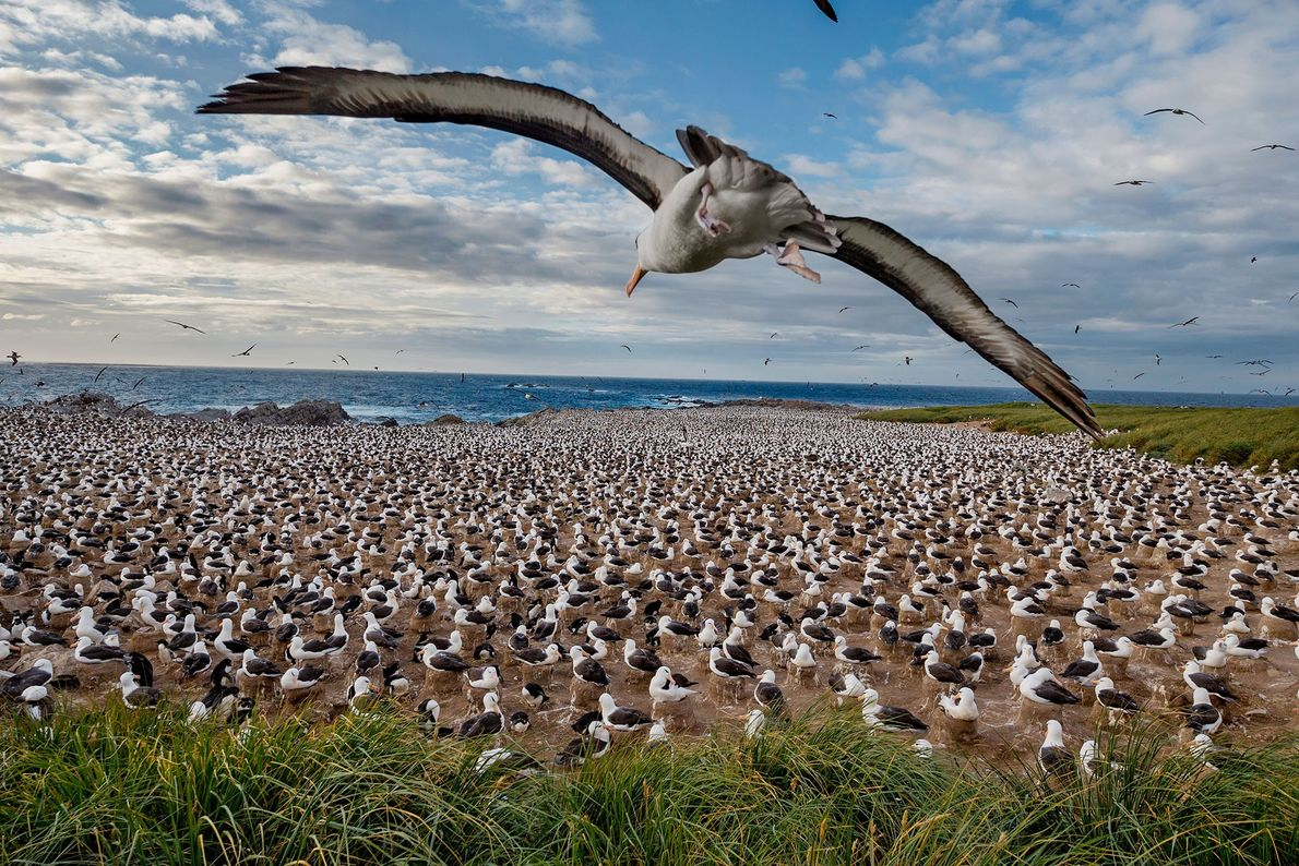 Black-browed albatrosses, Falkland Islands.
