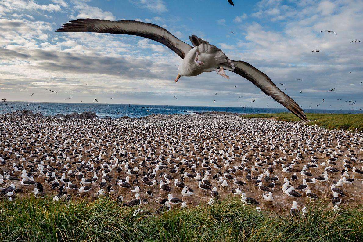 Black-browed albatrosses, Falkland Islands.