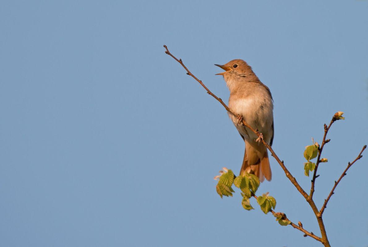 Nightingale, Luscinia megarhynchos In Song. Spring. UK