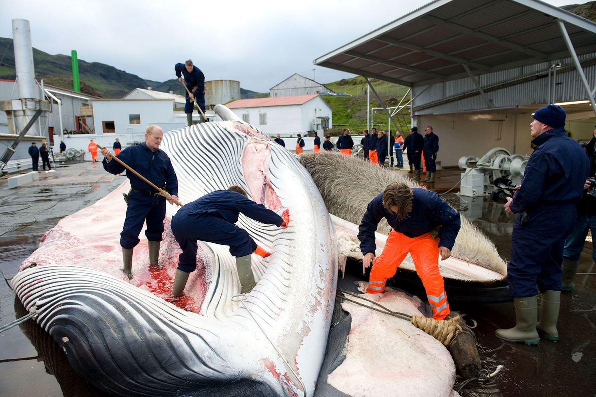 Whalers cut open a fin whale off the coast Iceland. Some cultures continue to whale, even ...