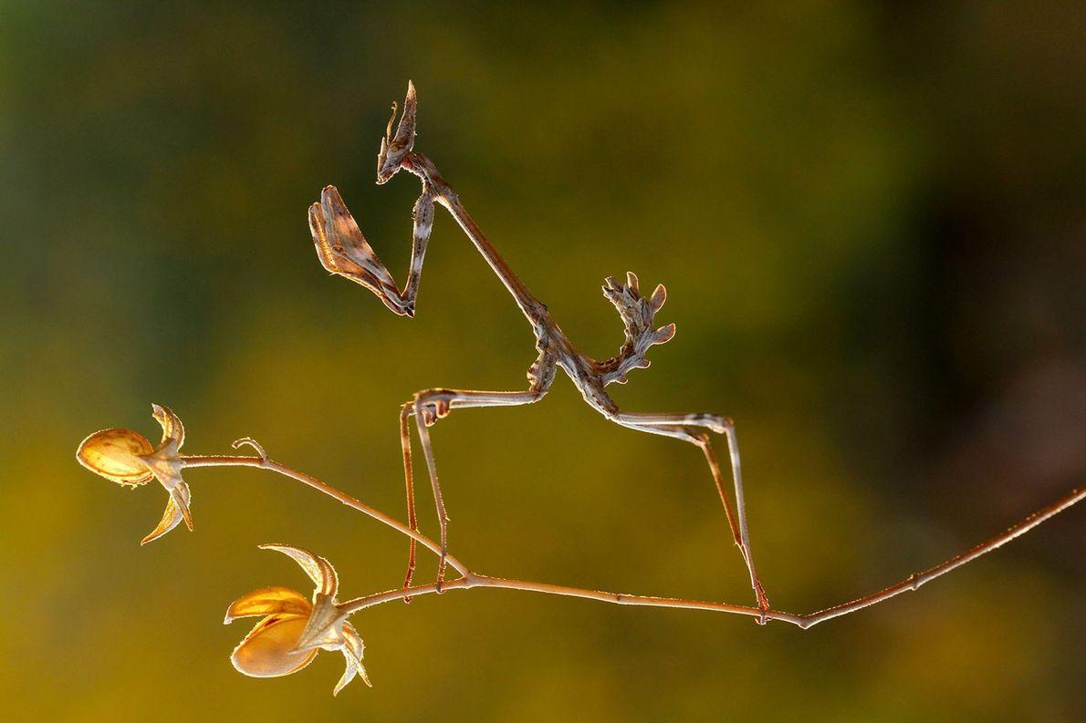 Conehead mantis. Kahramanmaras, Turkey