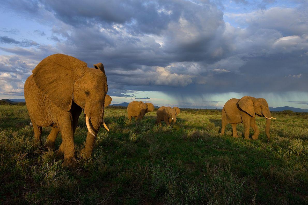 An elephant group on the move in Samburu National Park, Kenya.