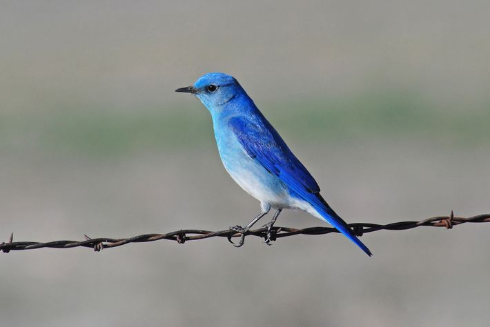The mountain bluebird also showed lower levels of stress hormones in response to chronic noise.
