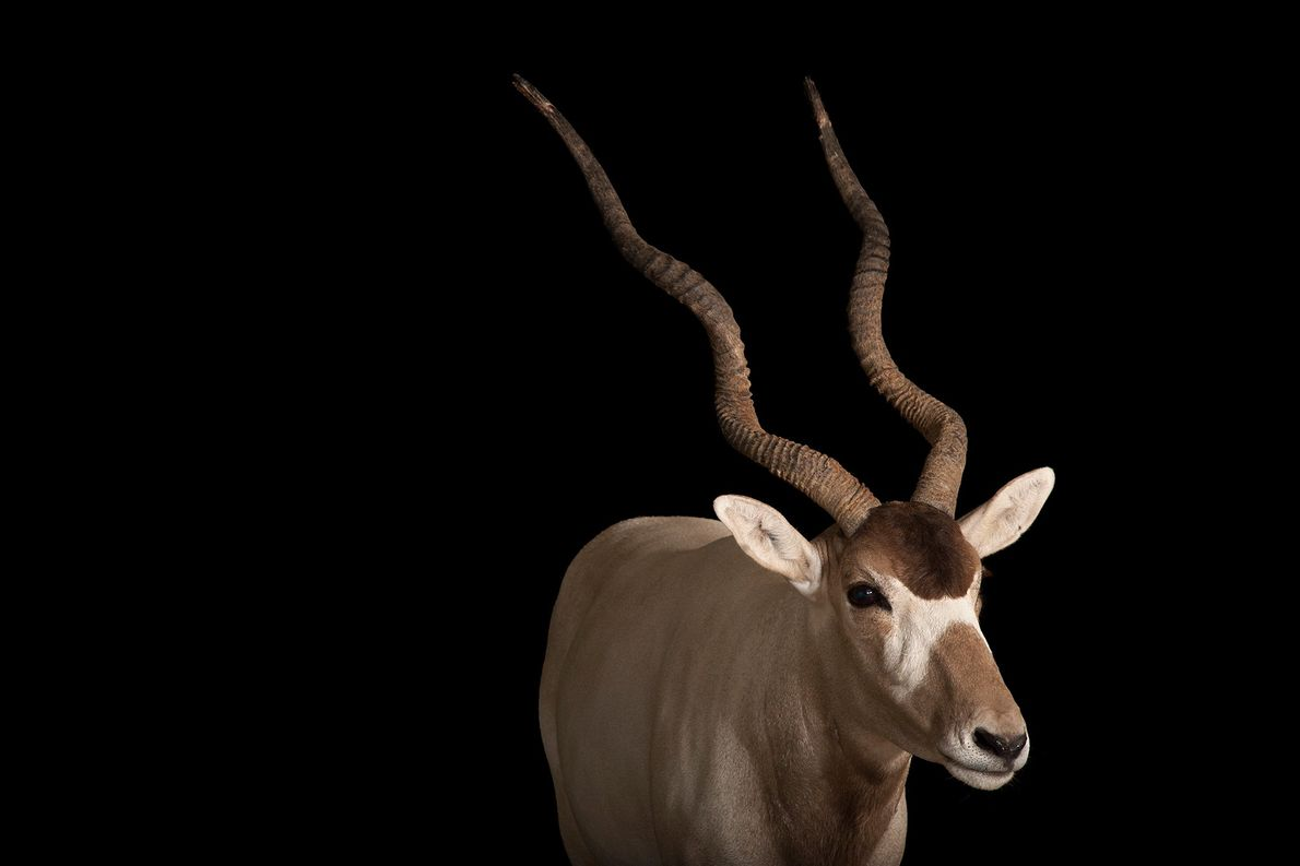 A critically endangered addax (Addax nasomaculatus) at the Gladys Porter Zoo in Texas.
