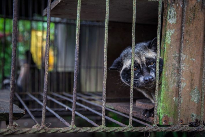 A captive civet, likely taken from the wild, looks out from a wire cage where it ...