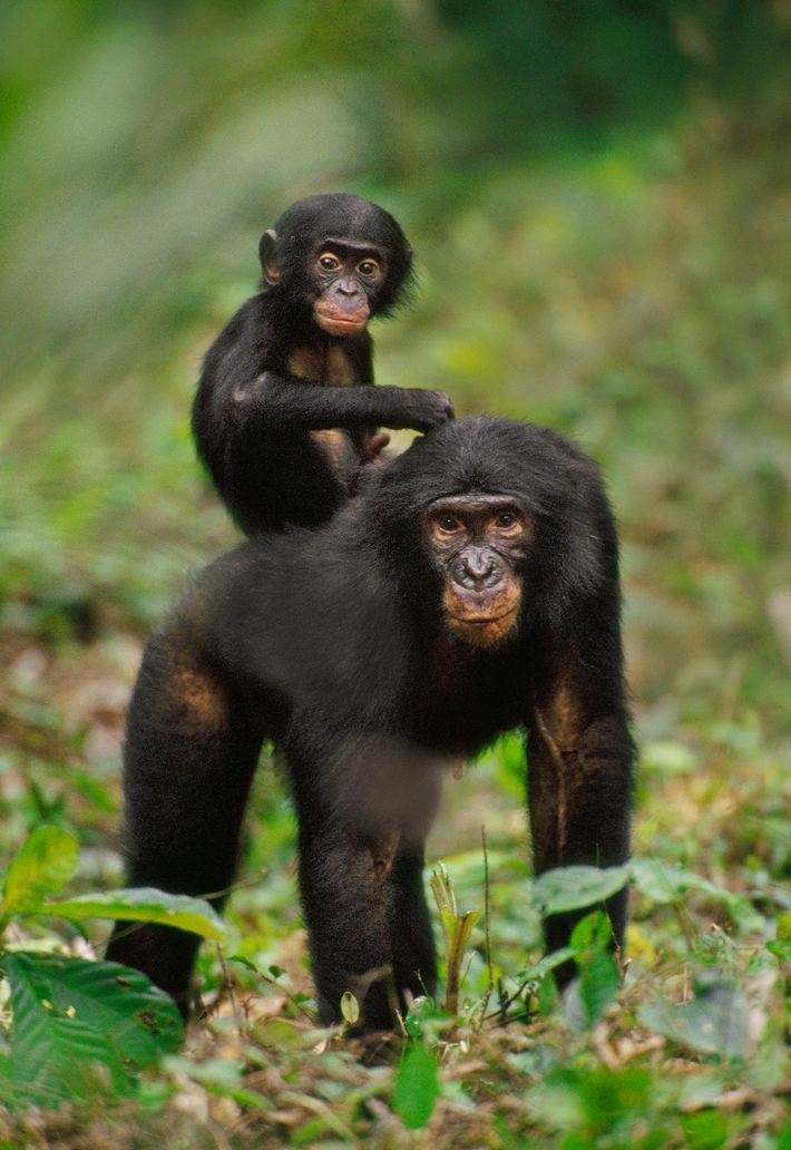 Baby bonobos usually stick closely to mom, even when she's having an intimate moment.